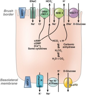 The plasma membrane of each cell is divided into the apical (brush border [BB]) and basolateral (serosal) membrane. Specific membrane transport proteins segregate to either the apical or basolateral side of these cells, and are required for transepithelial electrolyte transport (absorption and secretion). This transport processes contributes to intestinal Na+ absorption. Reagents are needed to either reverse the changes in transport that occur in diarrhea and/or stimulate other transport processes that can compensate for these changes.